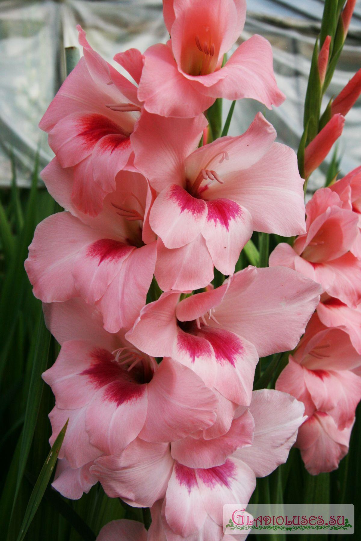 Красные гладиолусы : сорта и страстные названия роскошных цветов 49