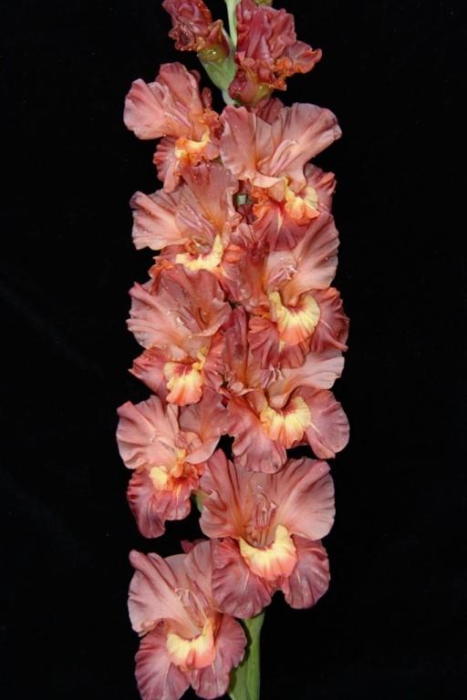 Цветы гладиолус купить оптом