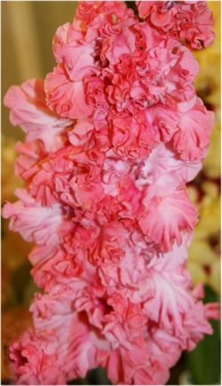 гладиолус цветок жизни фото